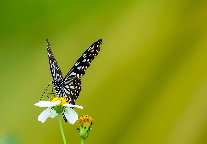 Insect Butterfly - Insect Animals In The Wild Animal Themes Flower Nature One Animal