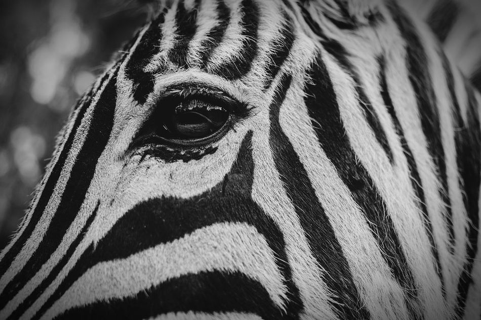 Animals In The Wild Zebra Animal Wildlife Animal Photography Animal Head  Animal Themes Black And White Animals Blackandwhite Eyeemphotography Nature_ Collection  Close-up Nature_collection Nature Tranquility Light And Shadow Beautiful EyeEmNewHere EyeEm Gallery Eye Beauty In Nature