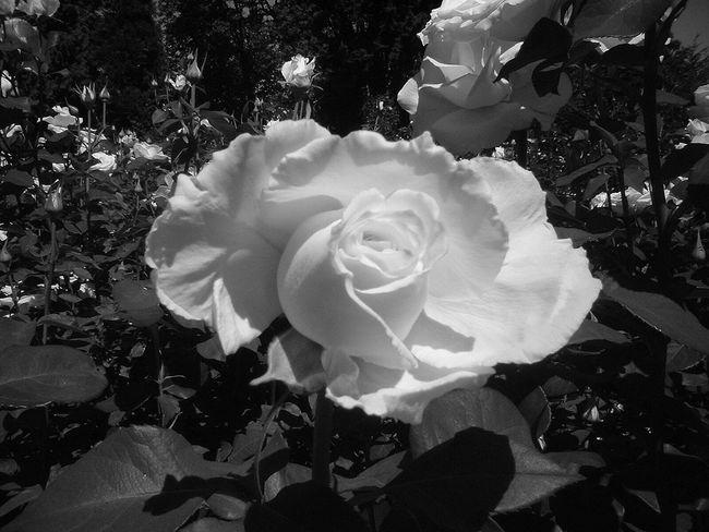 Roses Portland, OR Rose - Flower EyeEm Best Shots - Black + White EyeEmBestPics Eye4photography