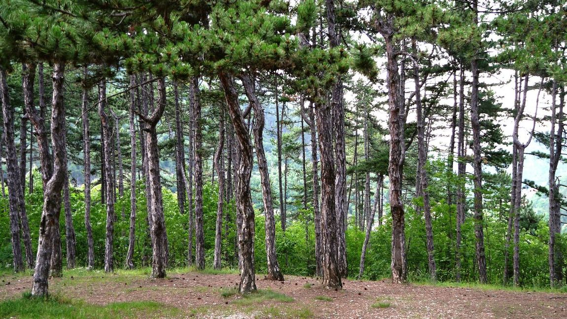 Tree Growth Nature Beauty In Nature Tranquility Day No People Outdoors Forest Green Color Tree Trunk Scenics Wood Tree Trunk Art Tree Trunk ствол деревья Лес лес и природа сосна Pine Woodland Pine Trees