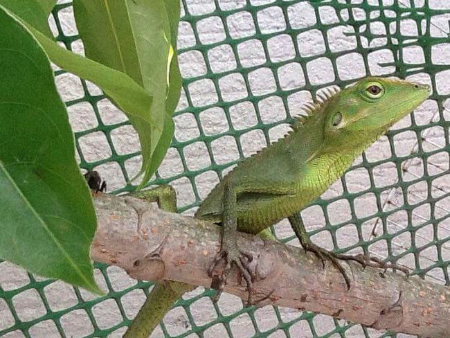 Iguana Iguana Iguanas Iguanaa Iguana In A Tree Iguana Photo Iguana Verde Green Iguana Iguanaa ✌👏