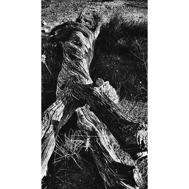 CUSTOM HASHTAGBlancoynegro Whiteandblack Worl_captures Wu_spain wonderfulworld instalike instamoment ig_exquisite pickoftheday pictureoftheday photooftheday fototag_ig fotodeldia fotofanatics followinstagram fotosparacomentar wood troncoviejo