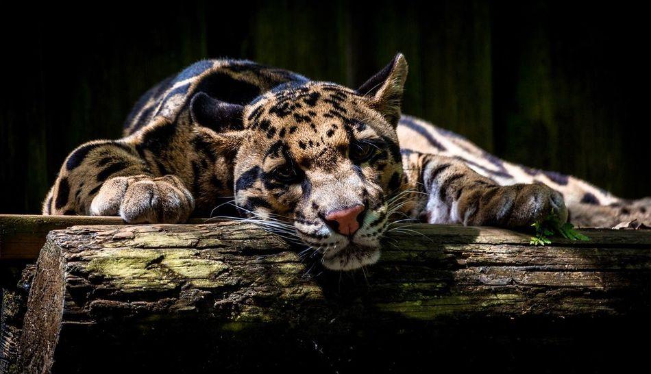 Beautiful stock photos of leopard, , Animal Themes, Animals In Captivity, Cheetah