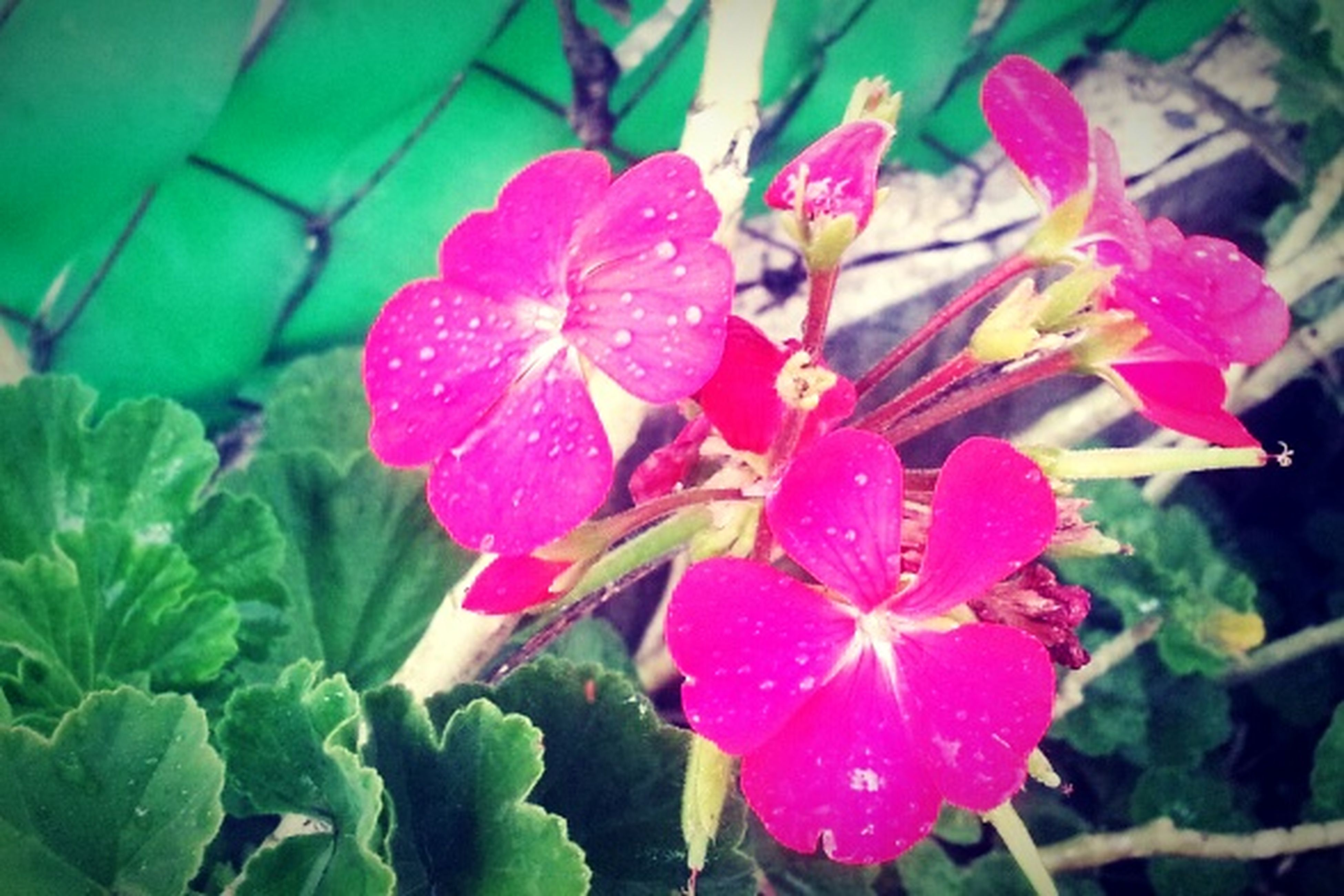 flower, freshness, pink color, fragility, growth, drop, wet, petal, water, leaf, plant, beauty in nature, close-up, nature, flower head, blooming, focus on foreground, raindrop, rain, day