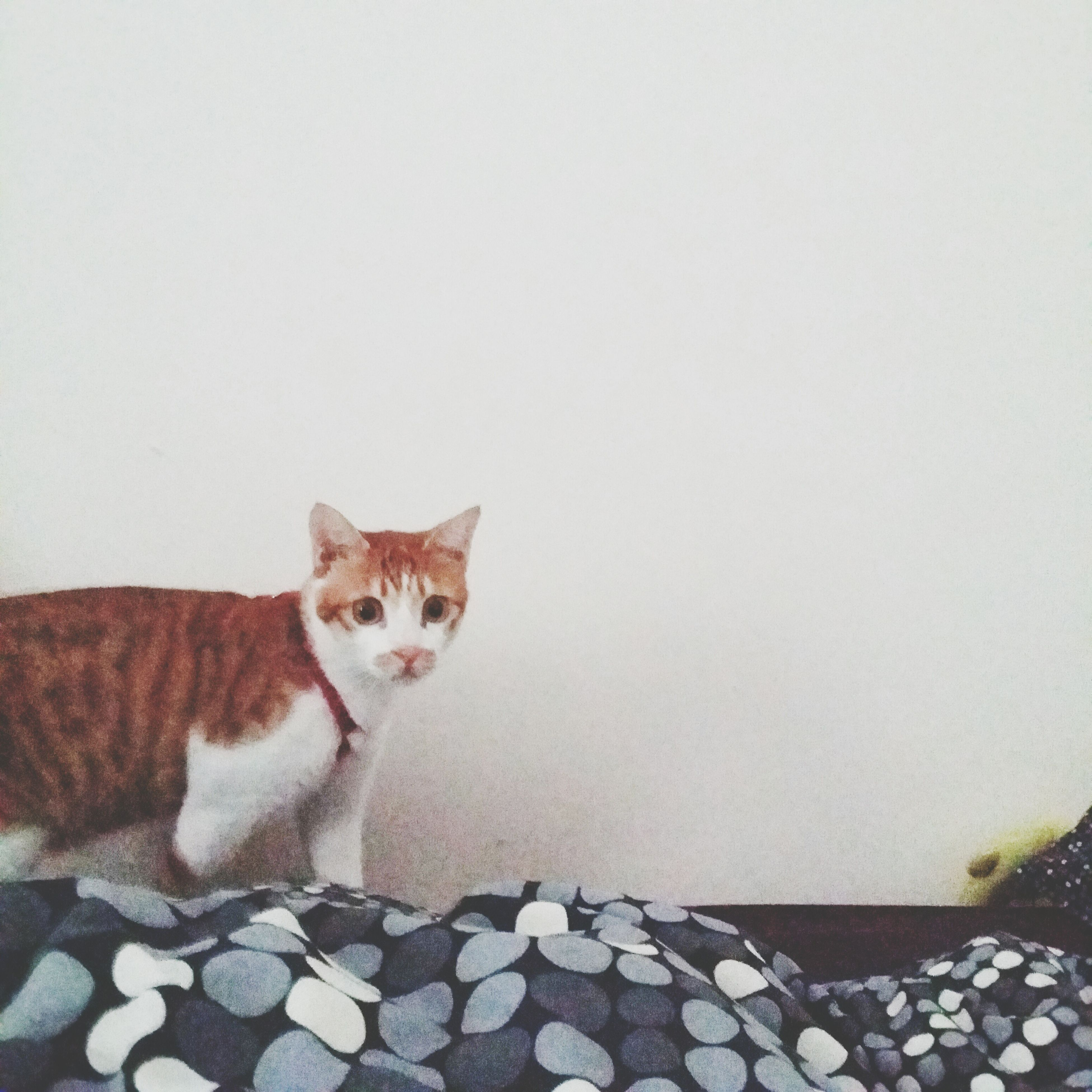 domestic cat, cat, pets, domestic animals, one animal, mammal, feline, animal themes, portrait, looking at camera, whisker, copy space, relaxation, wall - building feature, sitting, alertness, full length, no people, day
