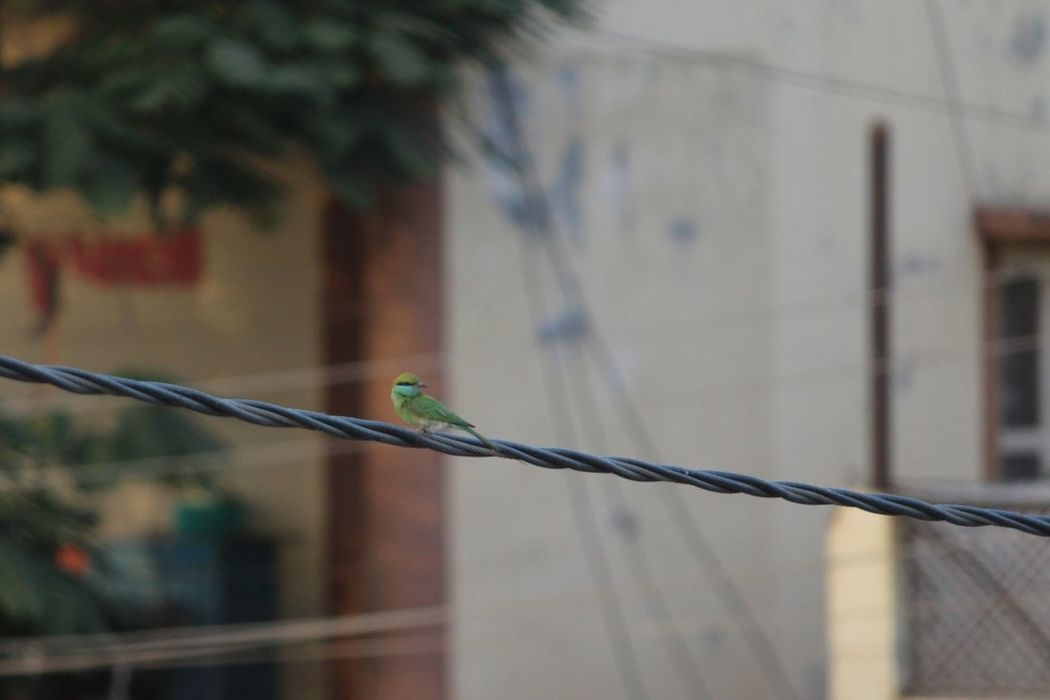 Bird No People Outdoors Elecricwire Green Bee-eater Nature Evening