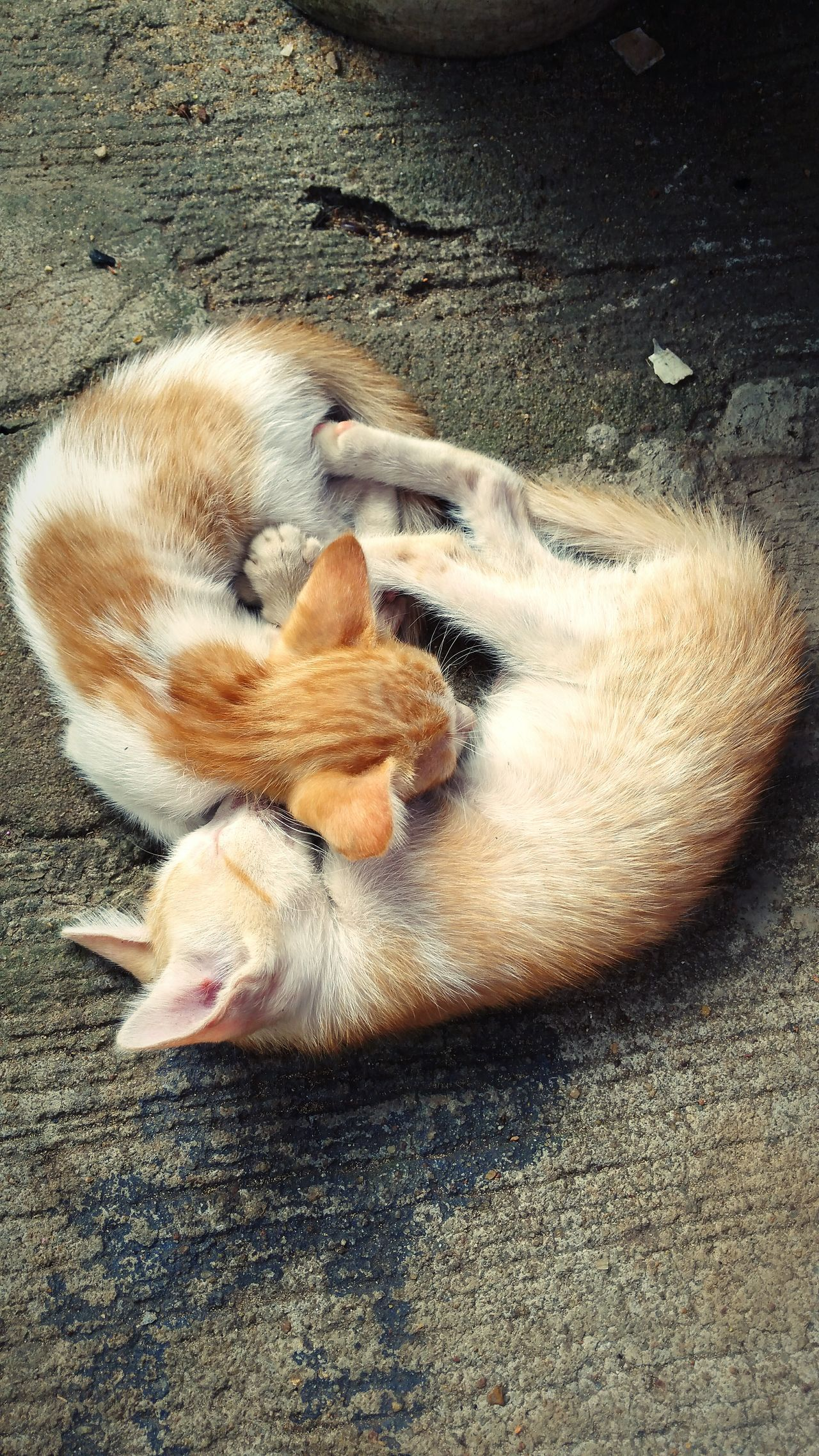 Was on a field trip when these two decided to snuggle! Yin and Yang almost! Kittens Ying Yang Field Trip Galaxynote4 CuteAF Snugglebuddy Sibling Love