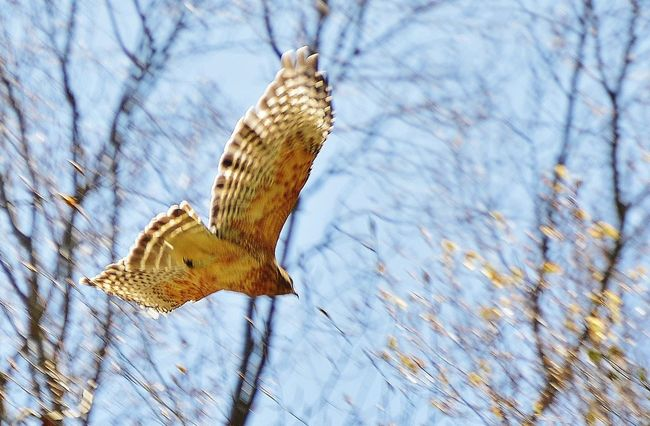 Soaring Coopers Hawk Animal Markings Beauty In Nature Day Flying Animals Natural Pattern Nature Outdoors Selective Focus Soaring Hawk Tranquility Tree Tree Trunk Wings And Feather