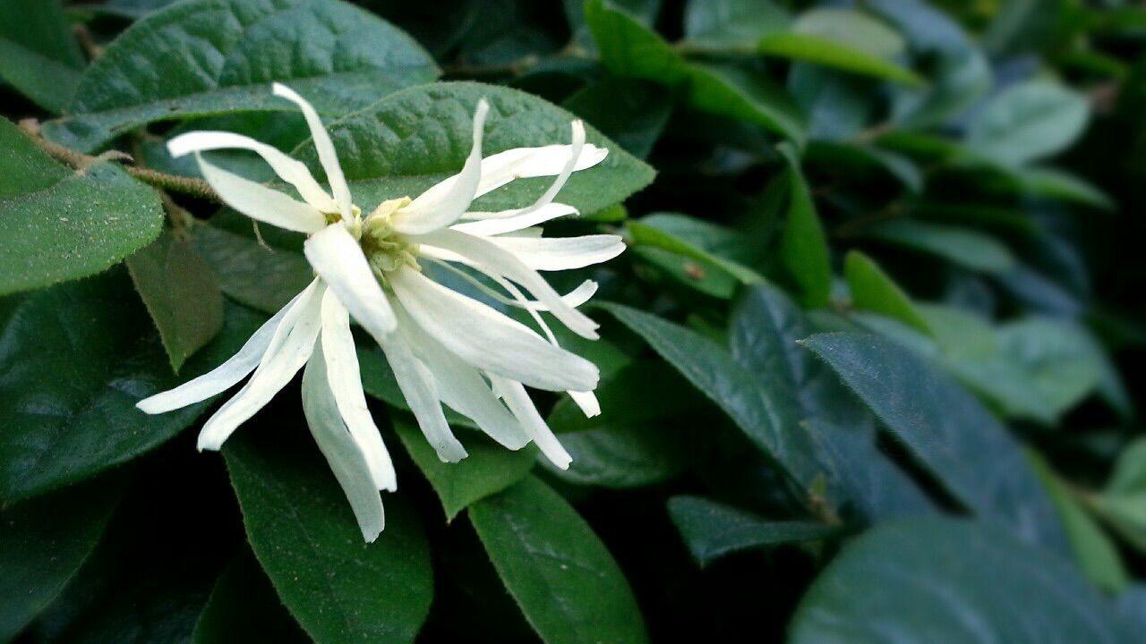 Loropetalum Chinense Loropetalum Fringe Flower White Flower