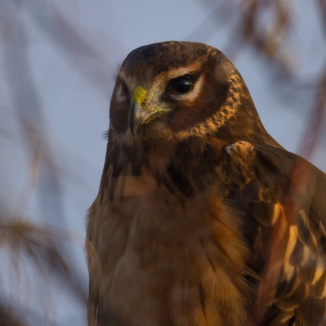 Went to the refuge and spotted this female Northern Harrier hidden behind limbs. Nofilter Bird Birdwatching Utah Northernharrier Hawk Nature_shooters Natureaddict Nature Lovers Picoftheday
