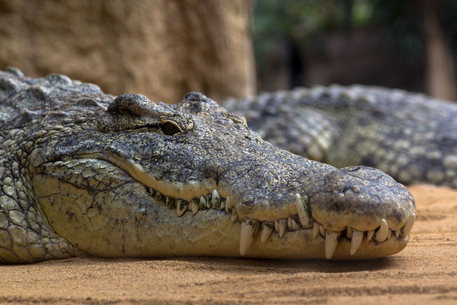 Alligator Close-up Crocodile Danger Focus On Foreground Nature No People One Animal Reptile Textured  Wildlife Zoology
