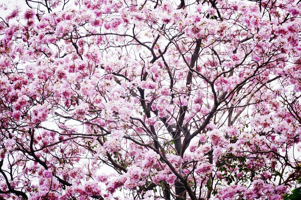 ชมพูพันธ์ุทิพย์ Blossom Pink Flower 🌸 Pink Trumpet Tabebuia Rosea First Eyeem Photo