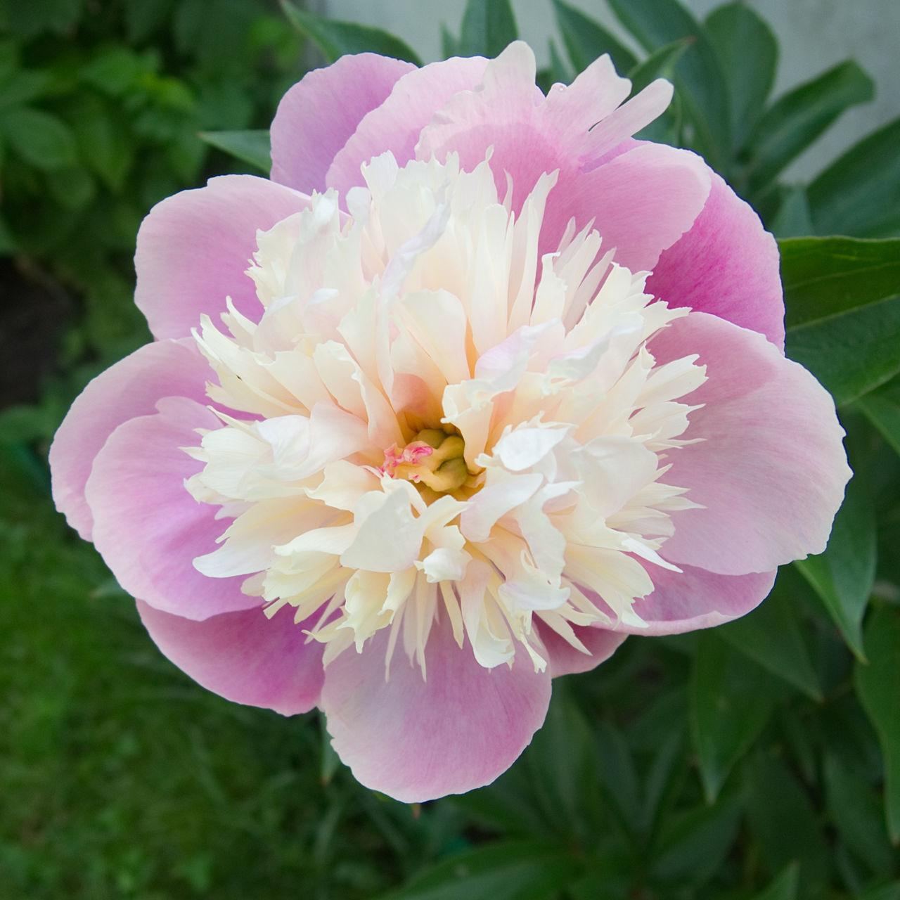 Pfingstrose Flower Flower Head Flowers Flowers,Plants & Garden Blooming Bloom Springtime Peony  PeonyBloom Peony Flower Garden