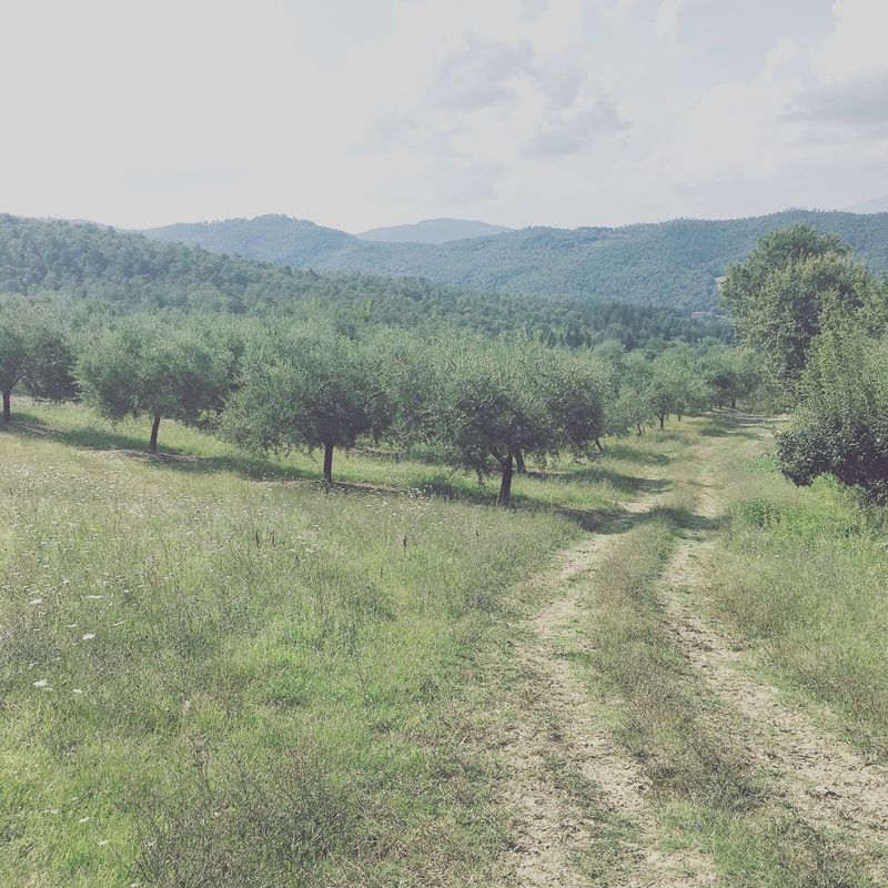 Narure_collection Natural Nature Toscana Italia Summer Landscape_Collection Landscape Olive Tree Olives Field Relaxing Nature Photography Italy