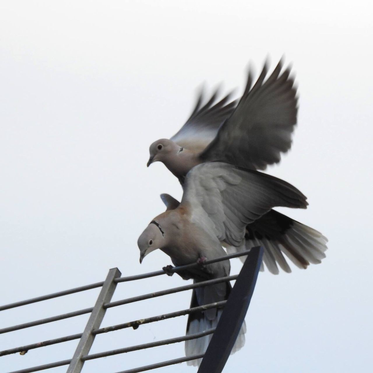 It must be love ... ! Bird Animal Themes Spread Wings Animals In The Wild Low Angle View Clear Sky Animal Wildlife Flying Nature