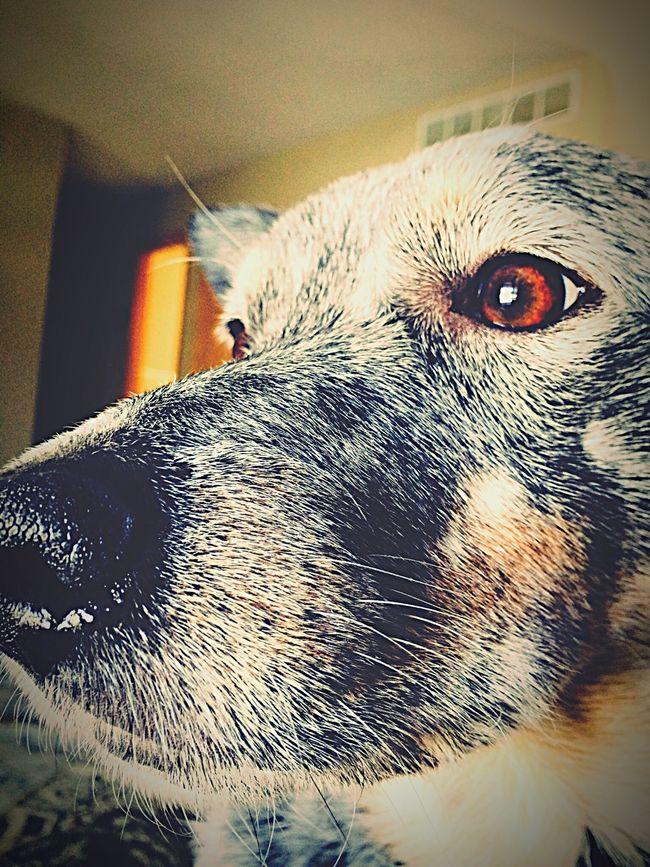 My fur babyl. Those Eyes. Dog Dog❤ Dog Love Blue Heeler Cattledog