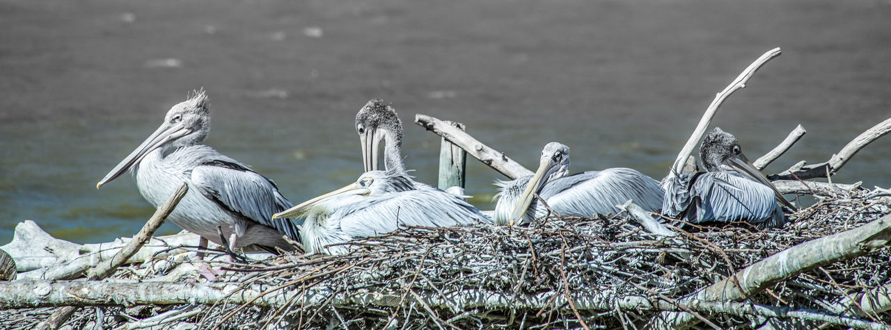 Animal Photography Animal Themes Animals In The Wild Beak Colony Of Pelicans Natural Habitat Nature Nature And Wildlife Photography Pelicans Perching