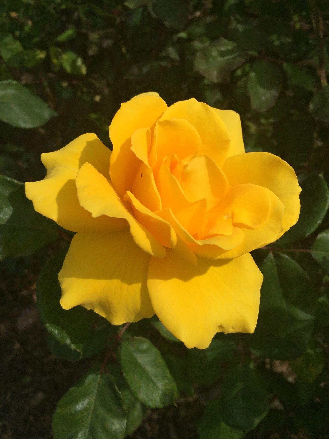 Yellow Flower Yellow Roses Yellow Rose Nature California United States Beautiful Beauty
