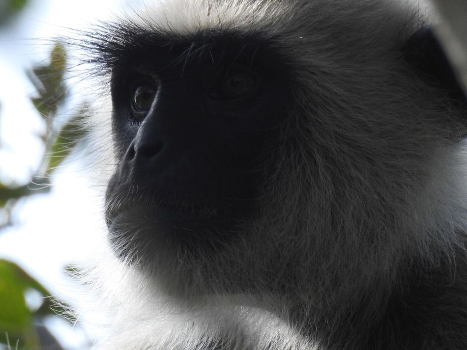 Animal Themes Animal Wildlife Animals In The Wild Close-up Day Gray Langurs Grey Langur Monkey Grey Langur Monkeys Mammal Monkey Nature No People One Animal Outdoors Primate