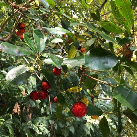Fruit Berry Fruit Green Color Leaf Nature No People Beauty In Nature Outdoors Close-up Branch Tree