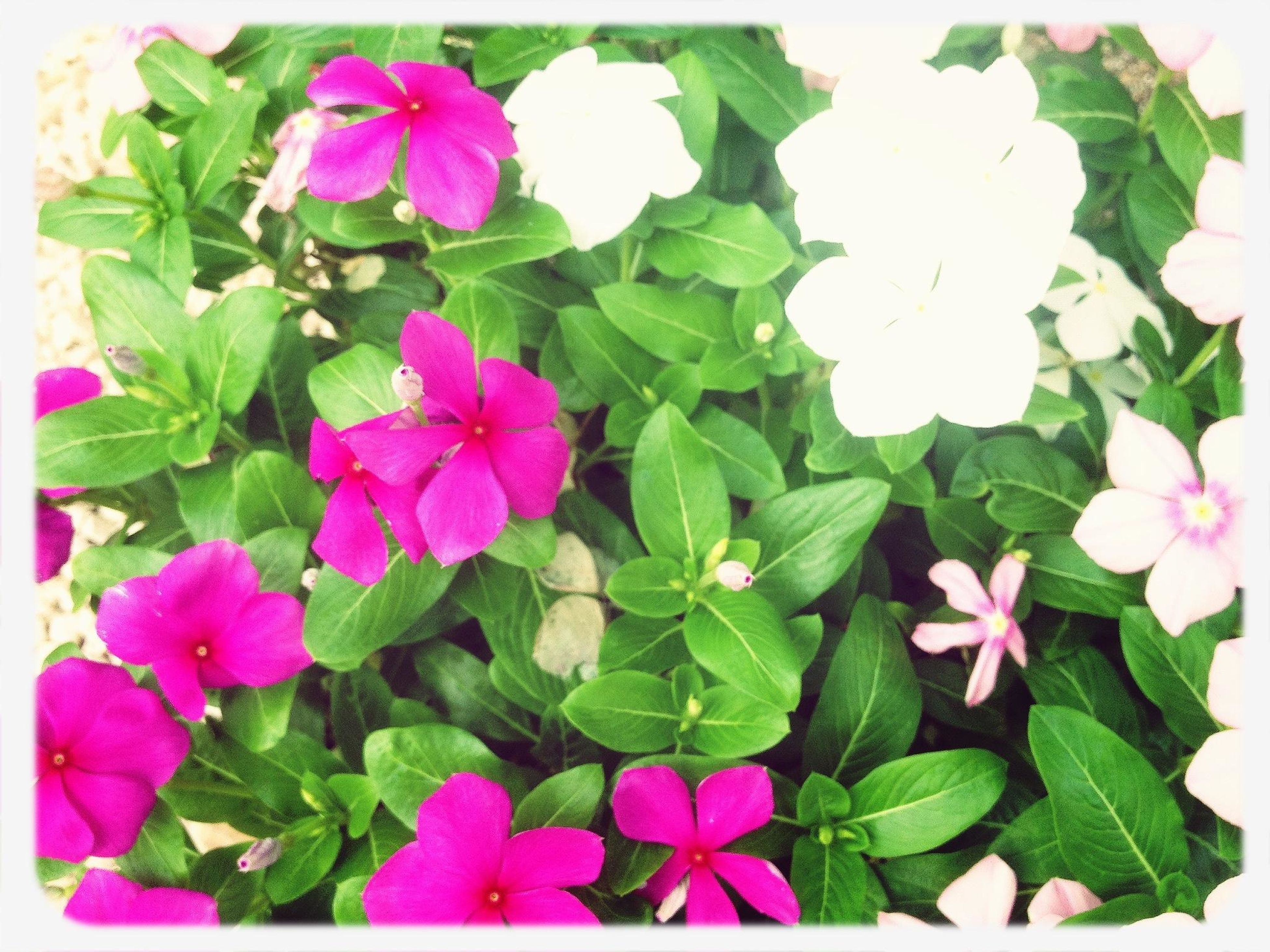 flower, freshness, transfer print, fragility, leaf, petal, growth, beauty in nature, flower head, plant, auto post production filter, nature, high angle view, blooming, pink color, close-up, green color, purple, in bloom, no people