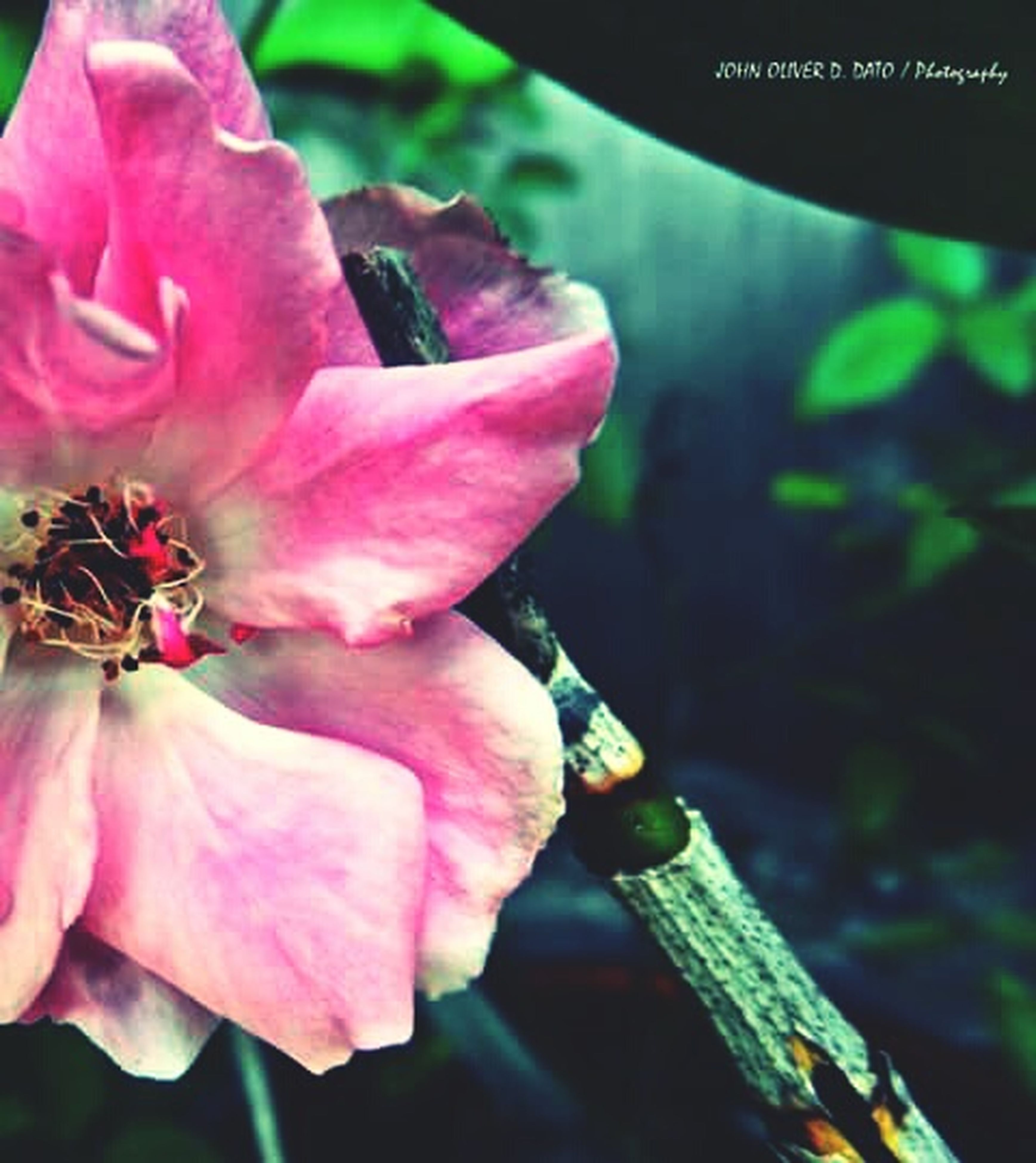 flower, petal, freshness, close-up, pink color, focus on foreground, flower head, fragility, beauty in nature, growth, nature, selective focus, blooming, plant, pink, day, outdoors, no people, single flower, stem