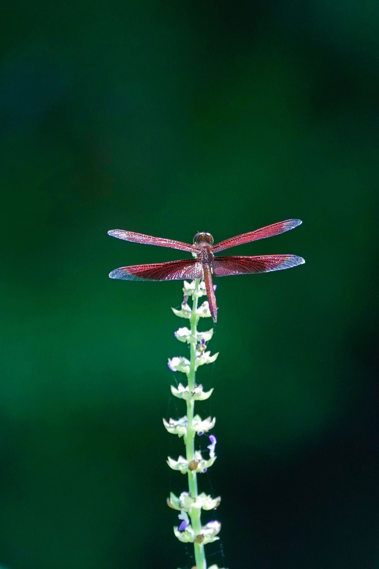 Gragonfly Red Gragonfly Close-up No People Outdoors Beauty In Nature Freshness Wildlife Park Nature Insect Flower Head Green Color