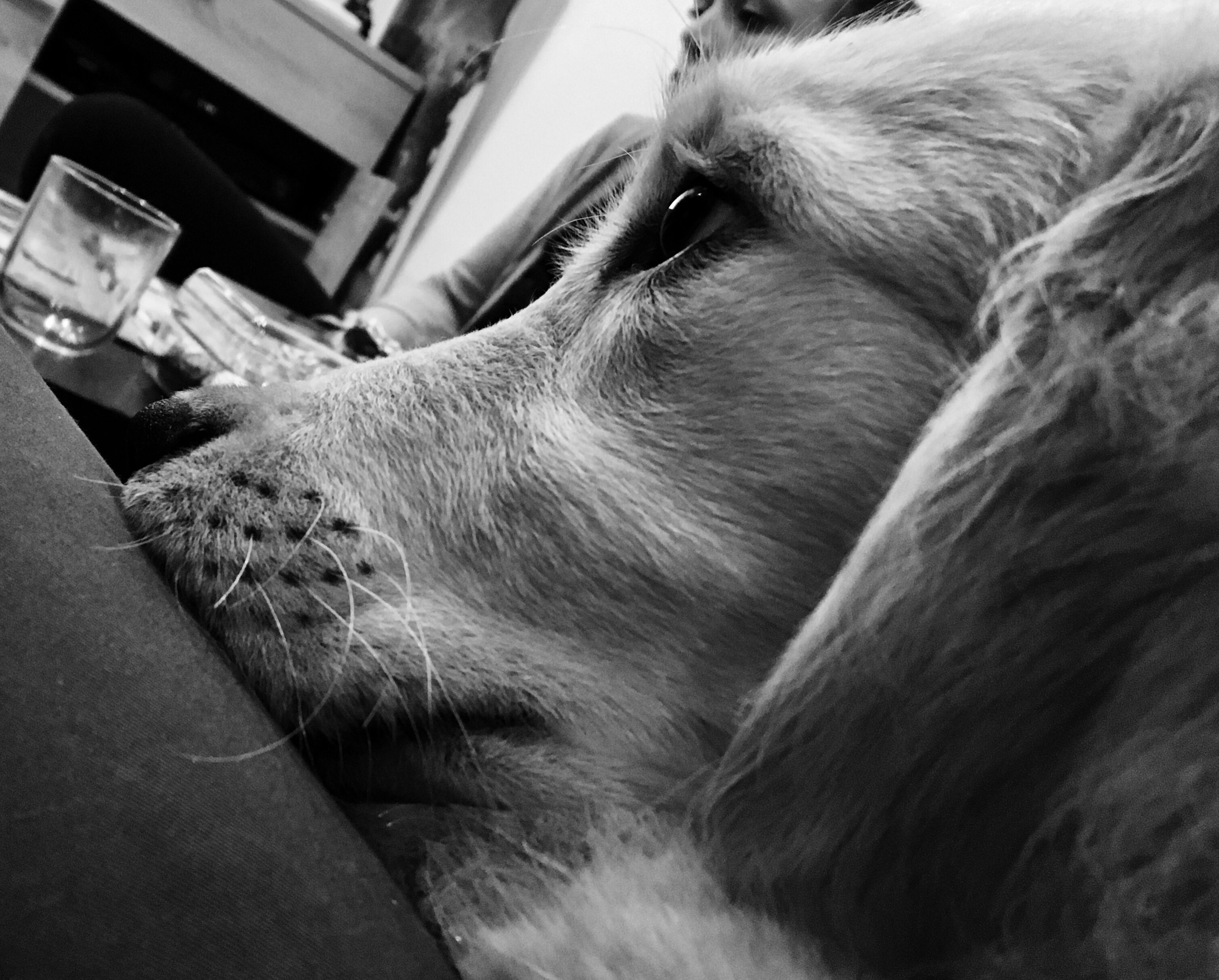 one animal, animal themes, pets, domestic animals, mammal, dog, indoors, relaxation, close-up, no people, day