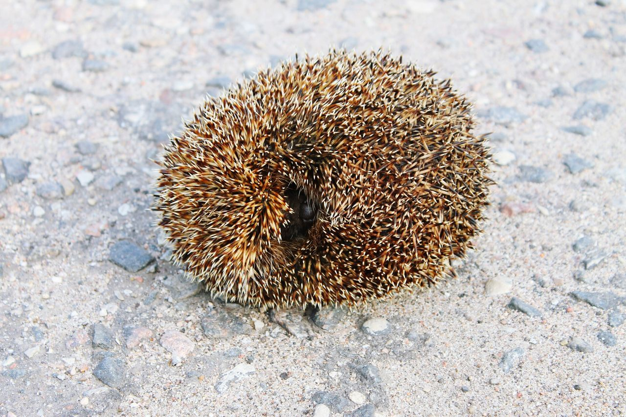 Sunlight Outdoors Close-up Sand No People Hedgehog Day Nature Beauty In Nature Photography Animals In The Wild Baby Hedgehog Hedgehogs Hedgehogs On The Road Sunlight Animal Themes
