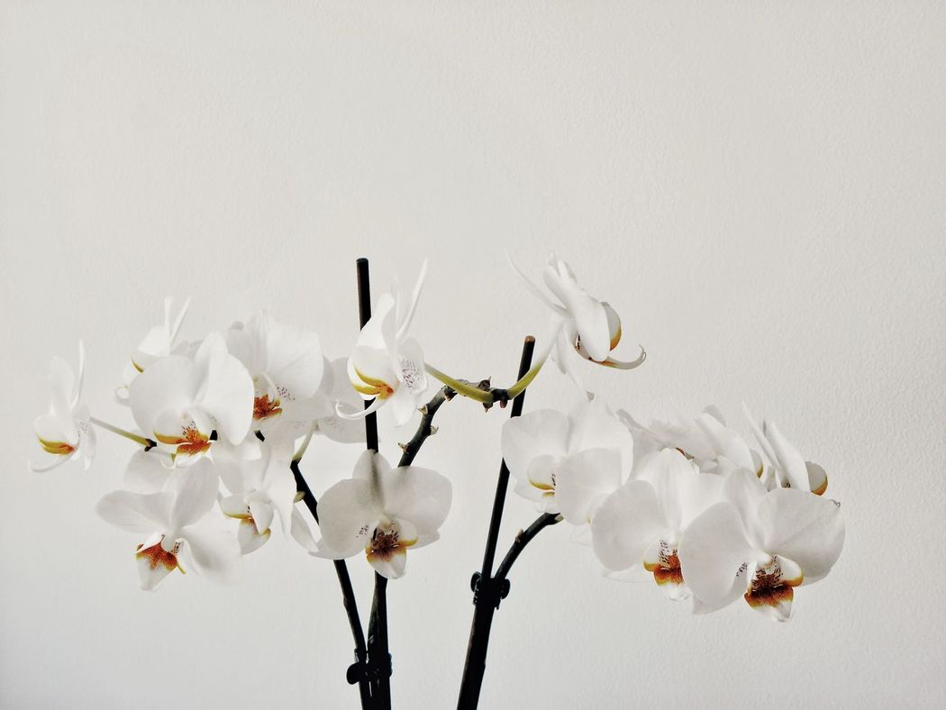 Flower Head Close-up Day Branch Beauty In Nature Freshness Nature Springtime Flower Fragility Blossom No People Growth Light Orchid White Orchids White Background White Color Pure White Flower Group Of Flowers Purity Beautiful Nature Beautiful Flowers Smelling The Flowers