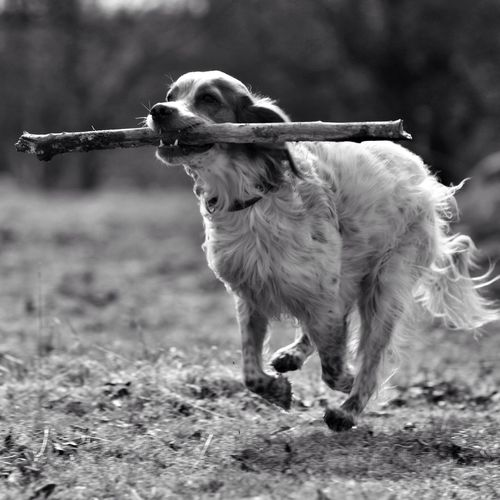 Blackandwhite Black And White Bw_dogs Bnw Noir Et Blanc English Setter All_shots