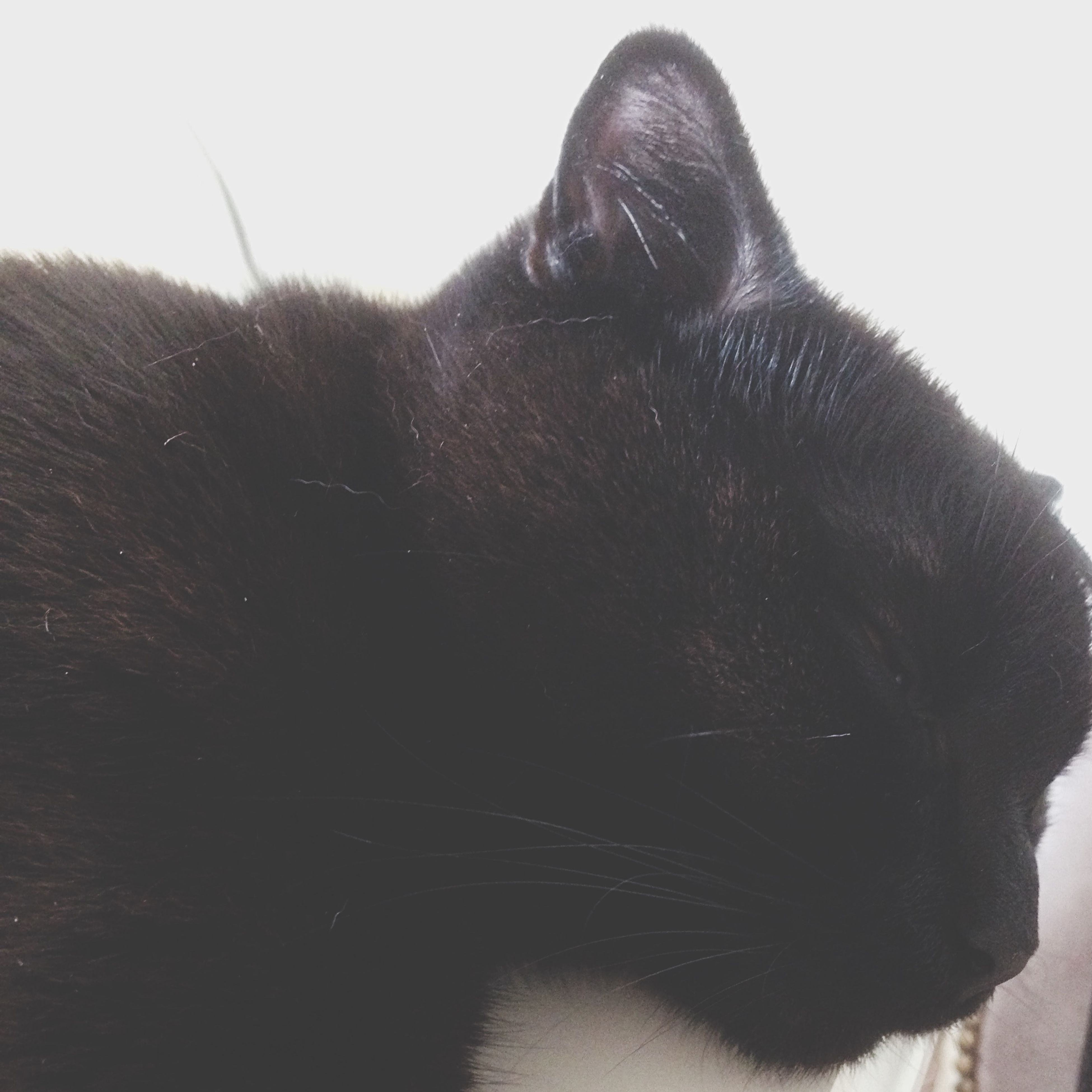one animal, animal themes, domestic animals, mammal, pets, animal head, domestic cat, animal body part, cat, close-up, feline, clear sky, whisker, side view, looking away, zoology, no people, black color, vertebrate, copy space