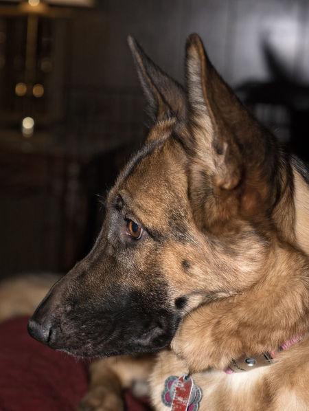 Black And Red German Shepherd Canine Companion German Shepherd