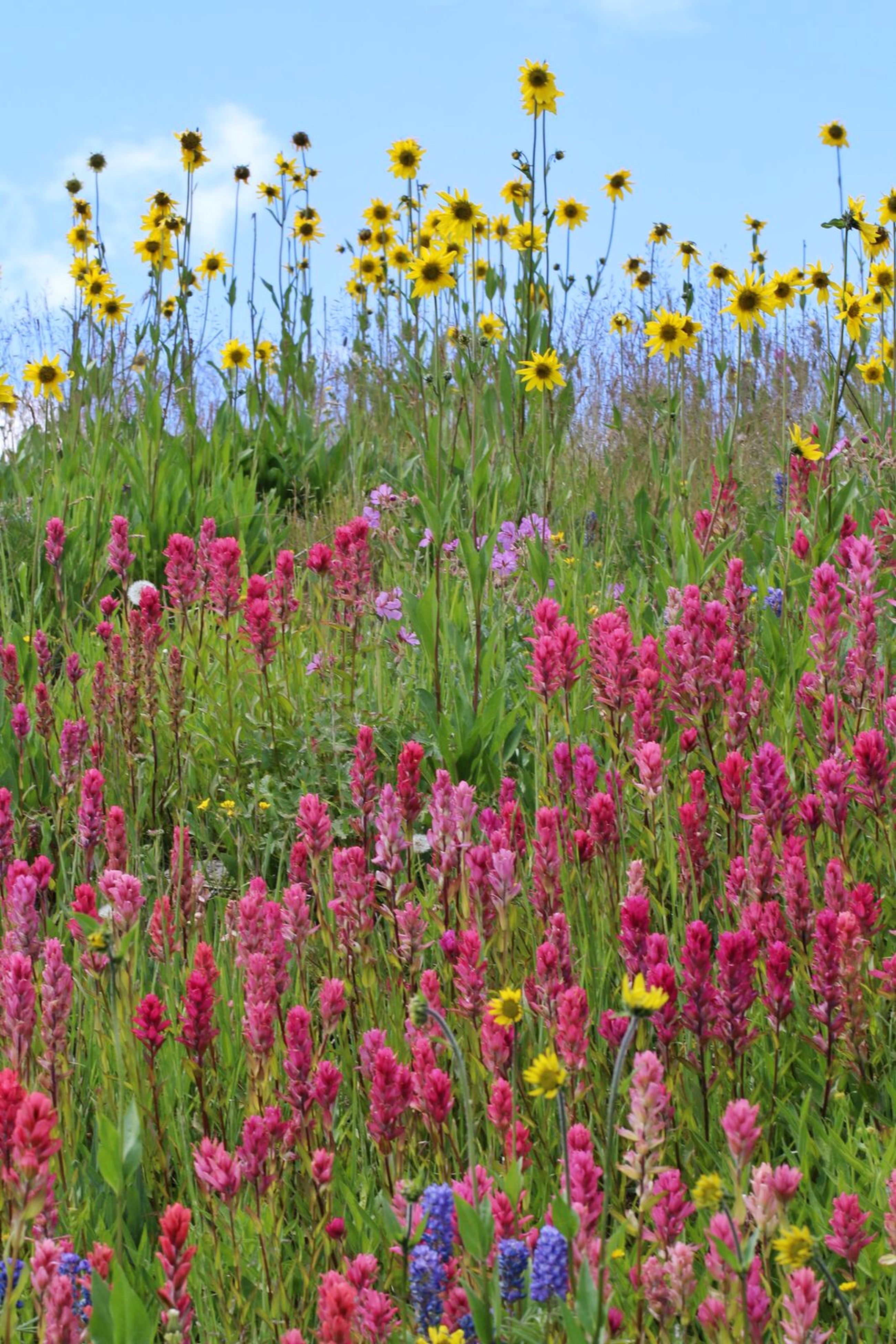flower, freshness, growth, fragility, beauty in nature, blooming, petal, plant, nature, field, abundance, in bloom, flower head, blossom, pink color, sky, springtime, stem, day, botany