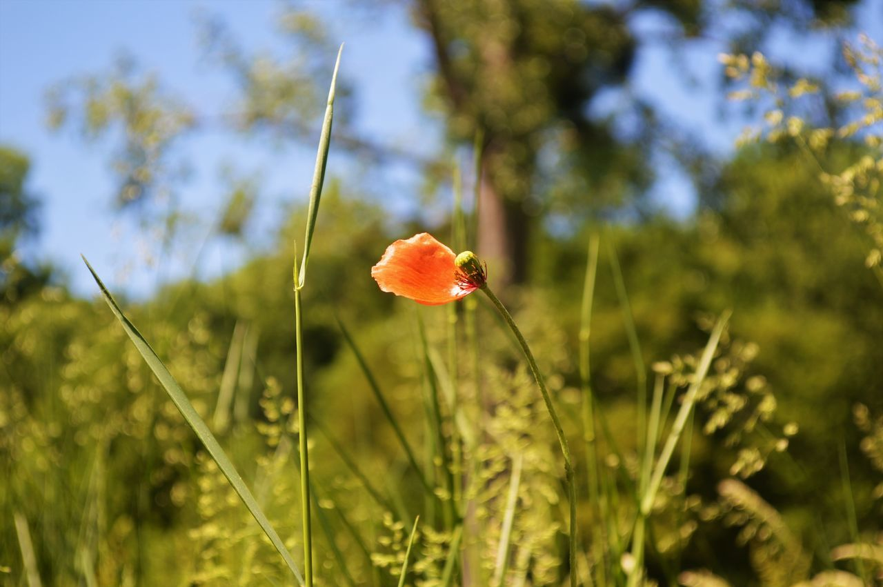 growth, nature, beauty in nature, plant, flower, no people, outdoors, poppy, fragility, field, freshness, day, focus on foreground, close-up, red, grass, blooming, flower head