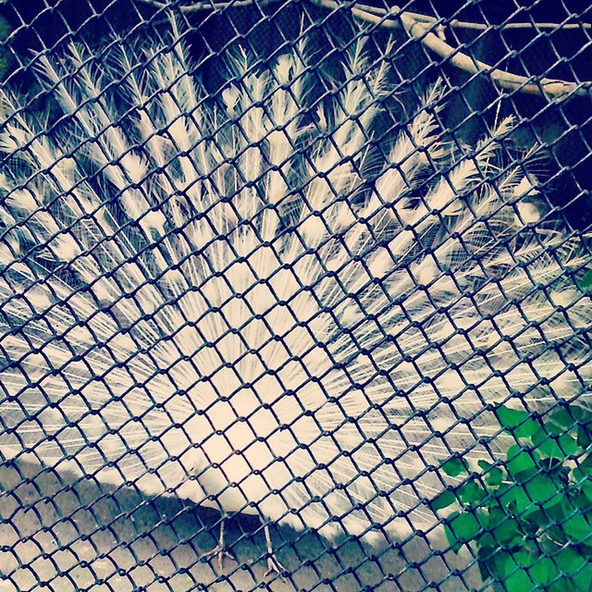 Bird Flyer павлин  птица животные Природа Николаевский_зоопарк павлин_в_клетке Peacock Peafowl