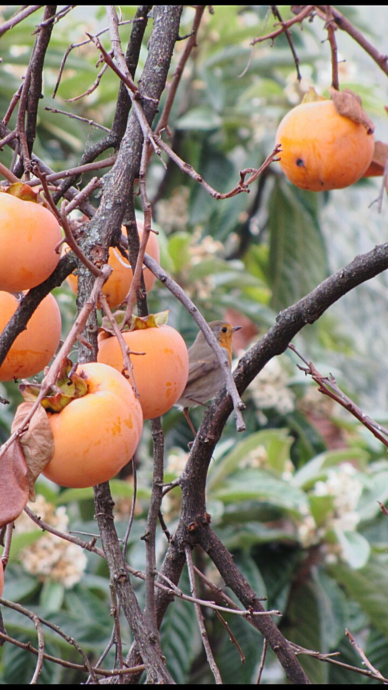 Redbird Bird Bird Photography Nature Persimmon Persimmon Tree Autumn Branches Wildlife Animal Italy