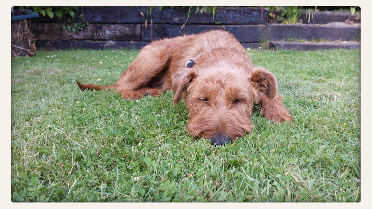 Having A Nap by the pool in the country Dog