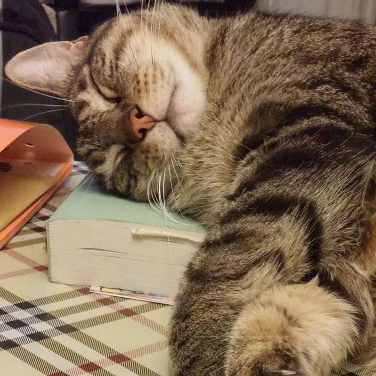 Cat Catsofinstagram Pet Sleepingcat Bookpillow Kali Cute Cuteness TabbyCat Tabby Igerscats Kissa Gato World_kawaii_cat Igcutest_animals
