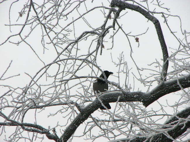 Animal Themes Animals In The Wild Bare Tree Bird Branch Clear Sky Crow One Animal Perching Raven - Bird Snow Snow On Tree Tranquil Scene Tranquility Wildlife Winter Zoology