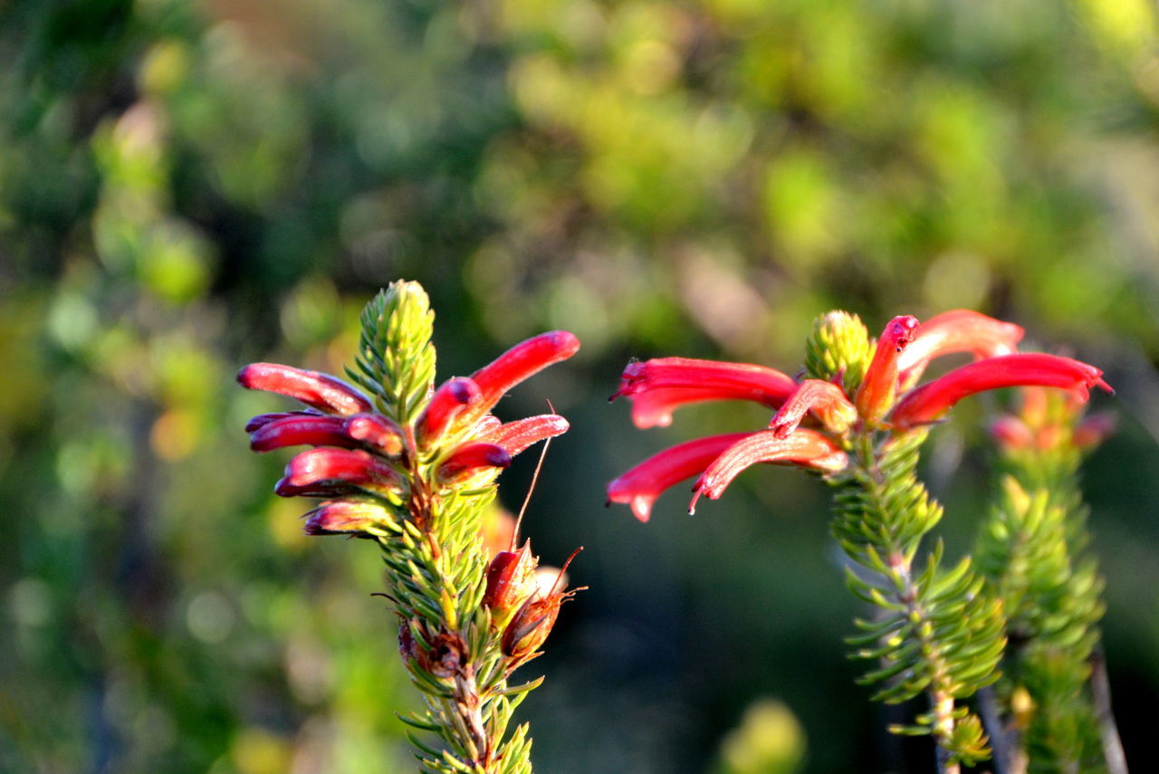 African Flowers Beauty In Nature Buds In Bloom Capetown South Africa Close-up EyeEm Nature Lover EyeEmNewHere Flower Flower Head Freshness Green Buds Growth Outdoors Table Mountain Travel Photography Wild Flowers Wild Flowers Of Table Mountain Blurred Background