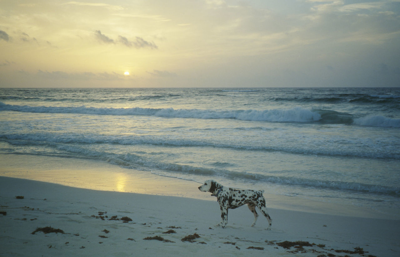 Beachphotography Caribbean Sea Dalmatian Dog Dog In Car Dog On Beach Hot Dog White Dogs