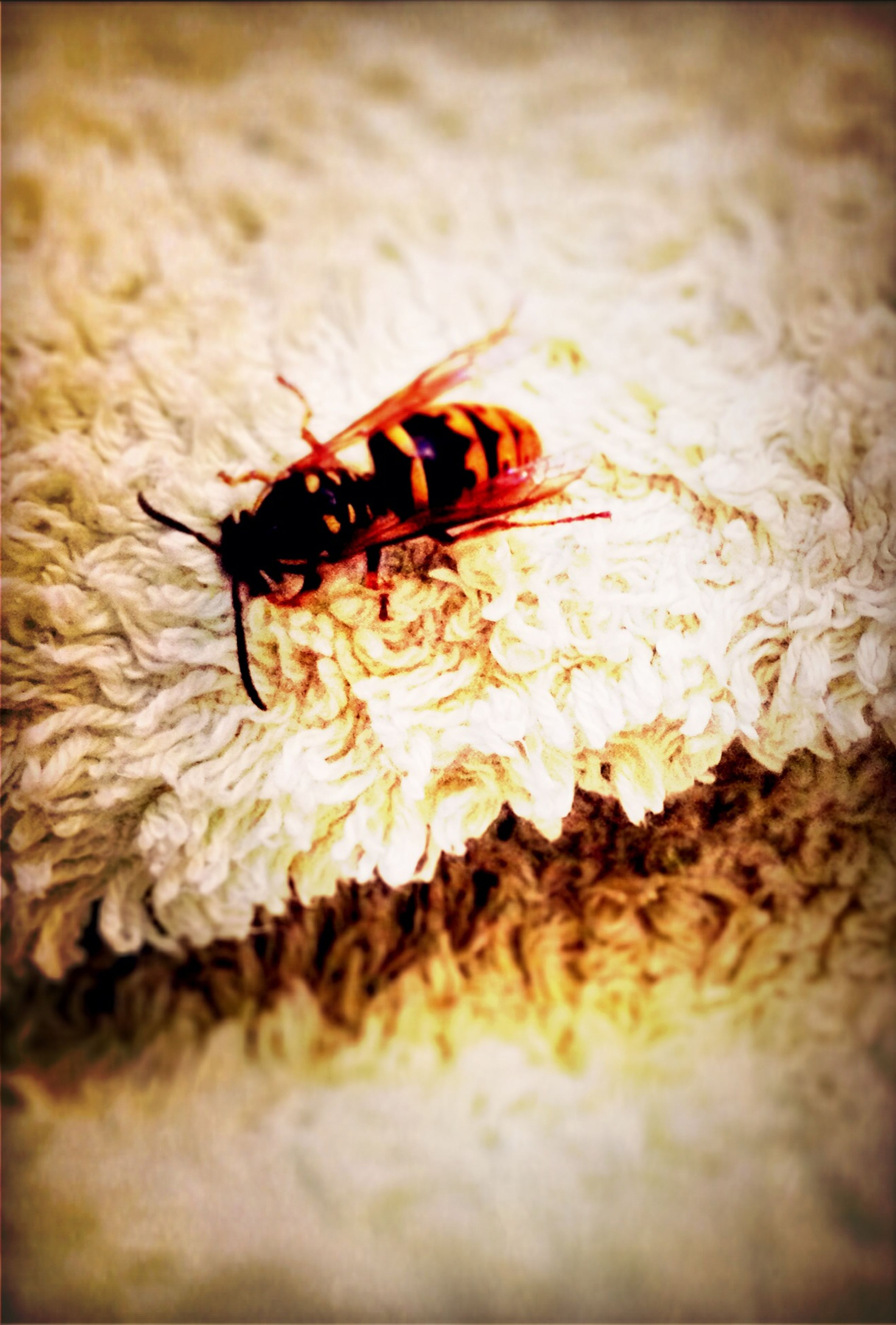 insect, selective focus, close-up, animal themes, one animal, indoors, high angle view, freshness, wildlife, flower, animals in the wild, fragility, nature, petal, no people, bee, table, dead animal, day, crab