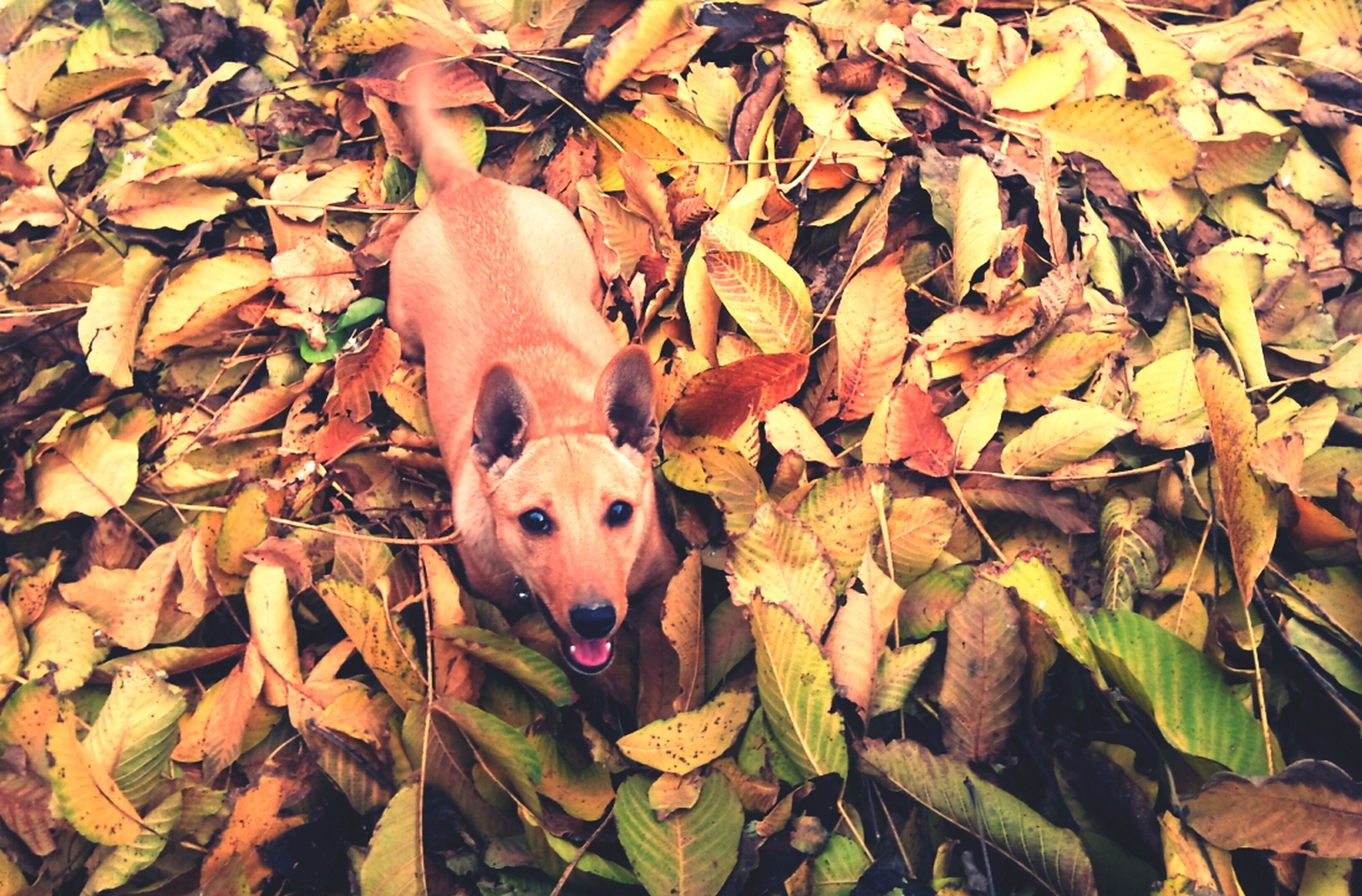 animal themes, dog, domestic animals, leaf, one animal, autumn, pets, mammal, change, high angle view, looking at camera, portrait, field, brown, leaves, day, outdoors, dry, nature, season