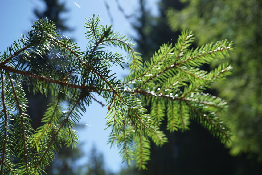 Pine Tree Pinaceae Tree Green Color No People Nature Branch Outdoors Day Beauty In Nature Spruce Tree Close-up Sky Sun WoodLand Summer Nofilter Green Color First Eyeem Photo Landscape Plant Tree Area Sunlight Beauty In Nature Growth