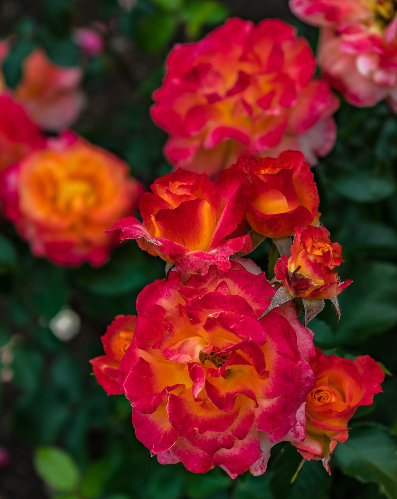 Fiery red roses with yellow highlights Beauty In Nature Blooming Bunch Of Flowers Close-up Day Fiery Red Roses With Yellow Flower Flower Head Fragility Freshness Growth Nature No People Outdoors Petal Plant Sunset