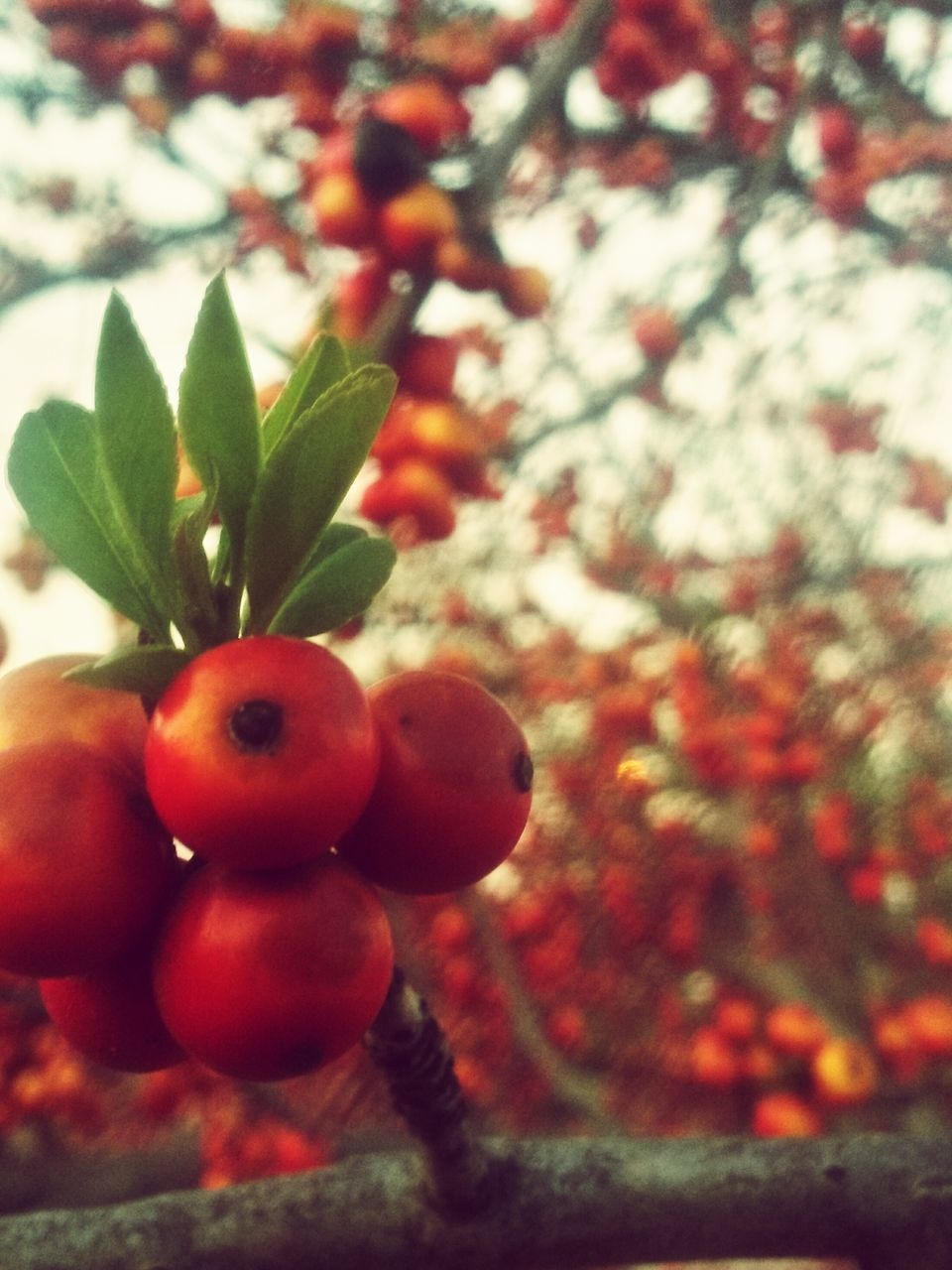fruit, tree, food and drink, growth, leaf, nature, freshness, red, no people, close-up, food, branch, outdoors, focus on foreground, day, healthy eating, beauty in nature, plant, sky