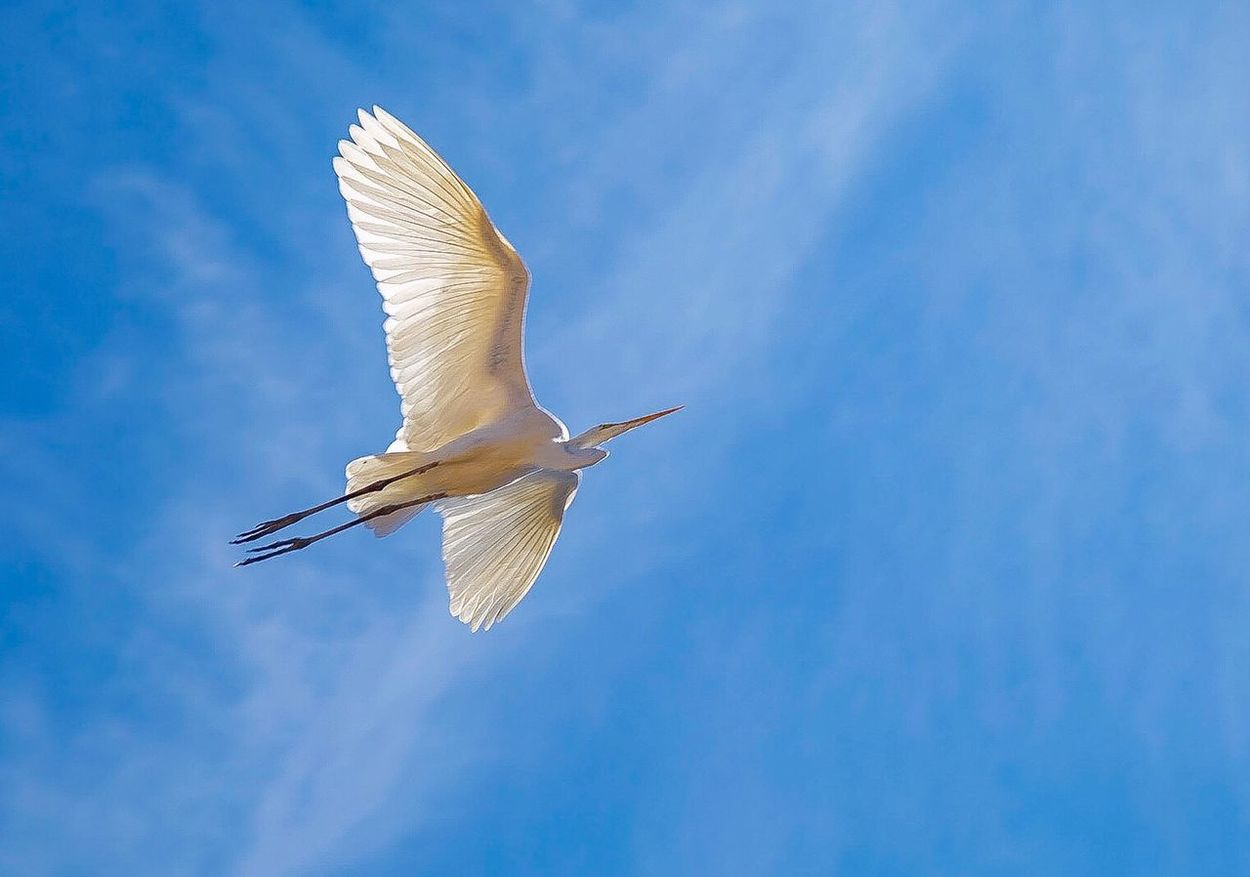 Flying Bird Animal Themes Animals In The Wild One Animal Spread Wings Day Low Angle View Sky Nature No People Animal Wildlife EyeEmNewHere