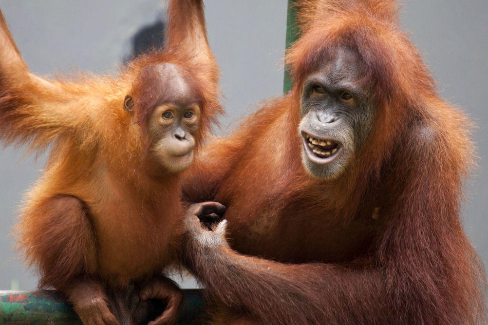 Young Orang Utan and Adult Animal Themes Animal Wildlife Ape Close-up Day Endangered Animals Endangered Species INDONESIA Kalimantan Mammal Monkey No People Orang Utan Orangutan Outdoors Primate Sumatra  Young Animal