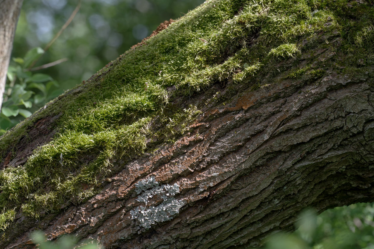 nature, green color, close-up, tree trunk, moss, growth, no people, textured, tree, focus on foreground, day, outdoors, lichen, plant, beauty in nature